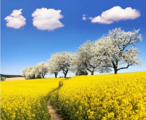 flowering cherry trees - Brassica Napus