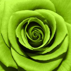 Tranh hoa hông xanh số 1