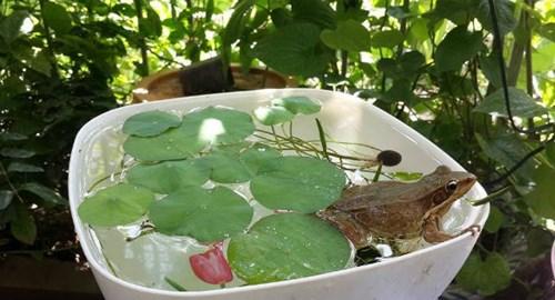 Trào lưu mới trồng sen mini trong nhà