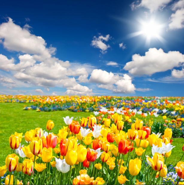 Tranh cánh đồng hoa Tulip