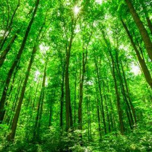 Tranh cảnh rừng xanh và nắng vàng