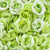 Tranh hoa hông xanh số 2