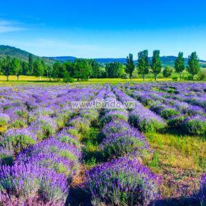 Rừng hoa lavender ở Hungary