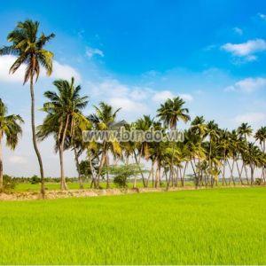 Tranh cánh đồng lúa ở Ấn Độ